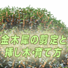 金木犀の剪定時期はいつ?キンモクセイの育て方と挿し木