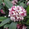 沈丁花の花言葉の由来と香りの効果!アロマや香水も大人気